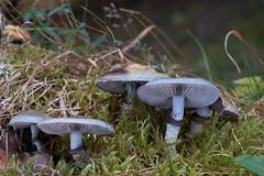 Stropharia aeruginosa (Igor Kramar) Tags: strophariaaeruginosa mushroom macro nature