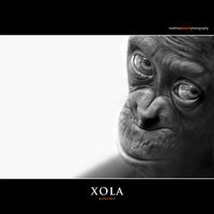XOLA (Matthias Besant) Tags: affe affen affenfell animal animals ape apes pygmychimpanzee fell zwergschimpanse hominidae hominoidea mammal mammals menschenaffen menschenartig menschenartige monkey monkeys primat primaten saeugetier saeugetiere tier tiere trockennasenaffe bonobo schauen blick blicken augen eyes look looking baby mixi xola bonobobaby child kind zoo zoofrankfurt matthiasbesant matthiasbesantphotography hessen deutschland