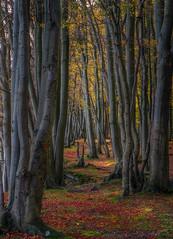 Trees at Pomle Nakke (ibjfoto) Tags: danmark denmark falster forest ibjensen ibjfoto natur woodland skov trees træer