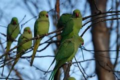 Ring-necked parakeets (ec1jack) Tags: hydepark royalparks westminster cityofwestminster london england britain uk europe ec1jack kierankelly december autumn park green birds parakeets wild ringneckedparakeets roseringed psittaculakramerimanillensis