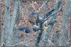 sibling rivalry (RKop) Tags: eastforklake raphaelkopanphotography ohio nature baldeagle nikon nikkor600f4evr d500 14xtciii