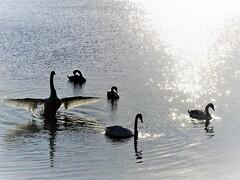 Lough Ramor. (salsol - Sham'C ♈) Tags: bird birds reflection blue freedom photography life music light shadow water reflections lake park ireland nature cavan virginia loughramor lough