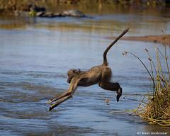 How to cross the Olifants River (leendert3) Tags: leonmolenaar southafrica krugernationalpark wildlife wilderness wildanimal nature naturereserve naturalhabitat mammal chacmababoon