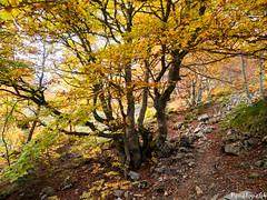 Les orgues de Camplong (penelope64) Tags: pyrénées pyrénéesatlantiques béarn lescun olympusem1 automne forêt