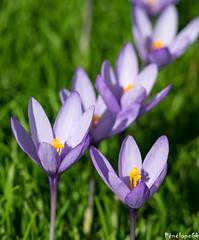 Crocus (penelope64) Tags: pyrénées pyrénéesatlantiques béarn lescun olympusem1 fleur crocus