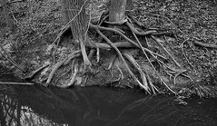 Roots (mswan777) Tags: tree roots bank stream flow water outdoor scenic quiet autumn apple iphone iphoneography mobile bridgman michigan monochrome black white ansel reflection nature
