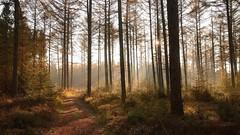 Misty forest (jandewit2) Tags: misty forest bos wood bomen trees mist sun zon zonsopkomst natuur nederland netherlands natuurmonumenten nikon planken wambuis