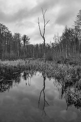 DSCF7606-Edit (frederikboving) Tags: forest denmark lake windless bw reflection bulrush straws