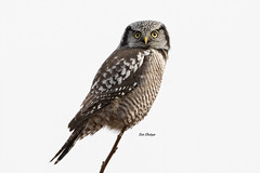 Northern Hawk Owl (Surnia ulula) (stitchersue) Tags: owl northernhawkowl rare borealforestowl surniaulula perched hunting ontario canada