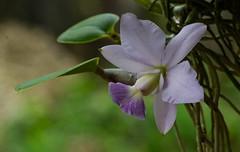 "Cattleya walkeriana ""Blue Moon"" (ACEZandEIGHTZ) Tags: nikond3200 orchid plant bokeh species fragrant roots leaves macro closeup flower cattleyawalkeriana bluemoon coth5 coth sunrays5"