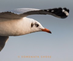 Eye of Black headed Gull (Non breeding plumage) (somenath2006) Tags: gull india birding birdsinflight nikond750 tamron