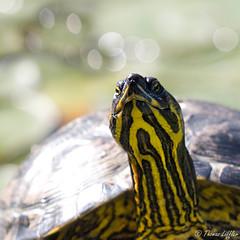 Deirochelys reticularia (funtor) Tags: animals animal turtle chickenturtle yellow bokeh highkey garden pond water