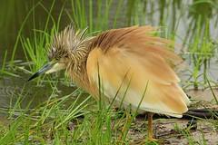 Squacco Heron (atlas1gp) Tags: lakepanic krugernationalpark southafrica squacco heron squaccoheron