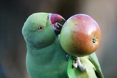 Ring-necked parakeet (ec1jack) Tags: hydepark royalparks westminster cityofwestminster london england britain uk europe ec1jack kierankelly december autumn park green birds parakeets wild ringneckedparakeets roseringed psittaculakramerimanillensis