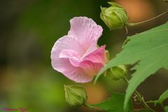 DSC01827 (Ezzo33) Tags: nammour ezzat ezzo33 france aquitaine 33 bordeaux parc jardin sony rx10m3 fleur fleurs flower flowers rouge red mauve pink rose yelow jaune wihte blanc bleu bleue réserve