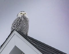 Somebody had an accident . . . (Dr. Farnsworth) Tags: female owl large snowy snowyowl roof accident blood feathers traversecity mi michigan fall december2019