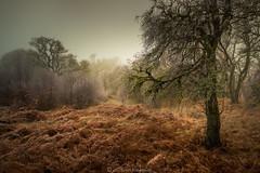 Loch Eil woods (Scott Robertson (Roksoff)) Tags: locheil mist misty trees moody atmospheric lochaber fortwilliam scottishhighlands scotland woodland fern frost winter autumn nikond810 nikond800 1635mmf4 70200mmf28 leefilters kasefilters