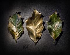 'tis the season... (marianna armata) Tags: 3 holy leaves gold green black dark shiny festive christmas holidays macro foliage mariannaarmata sharp