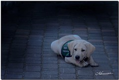 AUGUST 2019 NGM_2553_9135-2-222 (Nick and Karen Munroe) Tags: guidedogsofcanada guidedog guidedogs guidedogintraining puppy pup animal elora eloragorge eloraontario eloramill elorahistoricmill thegrandriver elorafalls karenick23 karenick karenandnickmunroe karenandnick munroe karenmunroe karen nickandkaren nickandkarenmunroe nick nickmunroe munroenick munroedesigns photography munroephotoghrpahy munroedesignsphotography nature landscape brampton bramptonontario ontario ontariocanada outdoors canada d750 nikond750 nikon nikon2470f28 2470 2470f28 nikon2470 nikonf28 f28 colour colours color colors