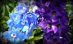 The Blues Brothers (Lani Elliott) Tags: homegarden garden lanisflowers lanisgarden nature naturephotography delphiniums flowers blossoms petals bright light colourful closeup upclose bokeh macrounlimited macro macrophotography blue purple blueflowers purpleflowers
