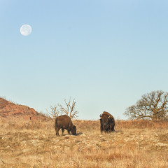 Moonset and Bison 12-13-19 (Larry Smith2010) Tags: wichitamountainswildliferefuge wichitamountains larrysmith oklahoma moonset bison