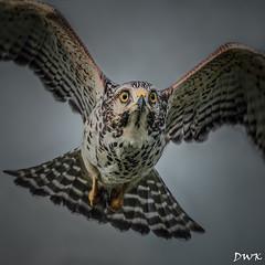 Close Encounters of the Bird Kind (Don's PhotoStream) Tags: nikon 1800f8 closeencounters travel hawk don'sphotostream iso160 fly flight nikon8040056 florida