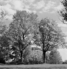 20191021-DSC_1945 (ralfschäfer) Tags: trees autumn herbst rolleiflex3f ilfordfp4 planar