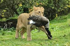 Young Asiatic lioness with a Canadian Goose (K.Verhulst) Tags: lions leeuwen aziatischeleeuwen asiaticlions goose gans birds vogels blijdorp blijdorpzoo diergaardeblijdorp rotterdam cats