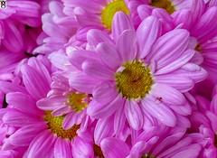 Flores rosas. (In Dulce Jubilo) Tags: flor flores flowers photography colors colores rosa pink pétalos petails macro naturaleza nature belleza nice bonitas andalucia andalusia espectacular spectacular espagne españa spanien spain