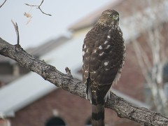 December 14, 2019 - A young Cooper's hawk keeping watch. (David Canfield)