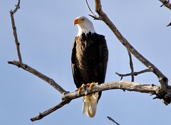 December 14, 2019 - A bald eagle enjoys the morning in Adams County. (Bill Hutchinson)