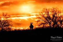 December 14, 2019 - White-tailed deer buck enjoys sunrise. (Tony's Takes)