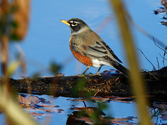 American Robin @ Tennessee River Park