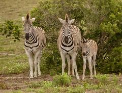 Zebra Family (haroldmoses) Tags: 2y3a6728 southafrica zebra kleinbaai westerncape