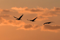 A family of cranes returning home in the evening (takashi muramatsu) Tags: crane fly flying flight evening sky sunset izumi kagoshima japan ツル 飛翔 夕鶴 ツル飛翔