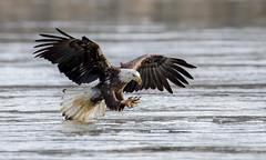 Bald Eagle (nikunj.m.patel) Tags: baldeagle nature wild wildlife bird nikon naturephotography
