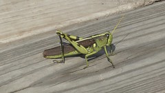 Two-Stripe Grasshopper (WalrusTexas) Tags: insect cullinanpark twostripegrasshopper wood boardwalk grasshopper
