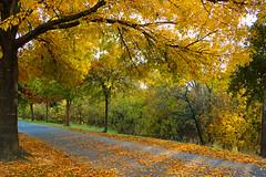 City Park (irmur) Tags: usa texas houston leaves yellow autumn fall tree park city