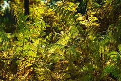 Farn im Herbst (KaAuenwasser) Tags: farn farne blätter kraut gelb verfärbung farbe farben licht schatten wald waldboden anlage garten park stelle ort beet nah fein struktur textur pflanze pflanzen herbst herbstlich jahreszeit bokeh