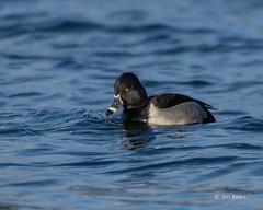 Ring-necked Duck (Jim Beers) Tags: bird duck waterfowl nikon nikkor d850 water