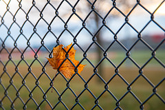 (A Great Capture) Tags: leaf gold golden autumn fall fence agreatcapture agc wwwagreatcapturecom adjm ash2276 ashleylduffus ald mobilejay jamesmitchell toronto on ontario canada canadian photographer northamerica torontoexplore winter l'hiver