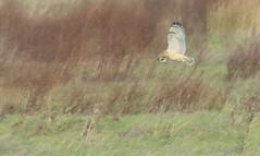 Photo of Short Eared Owl. Pawlett. 14.12.19