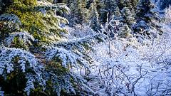 Frosty Trees and Bushes (rich trinter photos) Tags: mountrainiernationalpark winter packwood washington unitedstatesofamerica northwest trinterphotos trees landscape mountains alpine