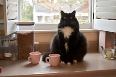 Batman with Shell-Pink restaurant mugs (rootcrop54) Tags: cc100 batman longhair longhaired tuxedo black male cat kitchen counter pink mugs sterlingchina shellpink neko macska kedi 猫 貓 kočka kissa γάτα köttur kucing gatto 고양이 kaķis katė katt katze katzen katua kot pisică pisici кошка mačka maček gatos gorbe kitteh chat ネコ cc400