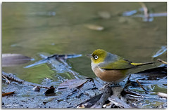 Silvereye (Bear Dale) Tags: silvereye having drink from small puddle behind sand dunes lake conjola beach scientific namezosterops lateralis nikkor afs 200500mm f56e ed vr ulladulla southcoast new south wales shoalhaven australia beardale lakeconjola fotoworx milton nsw nikond850 photography framed nature nikon bear d850 bird drinking pond naturephotography naturaleza