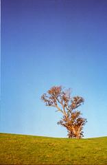Tree - Barossa Valley (nickant44) Tags: nikon nikkor 35105mm afd kodak portra film 35mm analog tree green blue sky barossa valley australia f80 coolscan