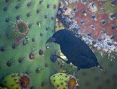 Common Cactus Finch from Isla Santa Fe (xd_travel) Tags: galapagos equador 2014 mssamba wildlife endemic finch tanager darwinfinch evolution islasantafe barringtonbay commoncactusfinch