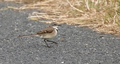 Cape Wagtail ??? (haroldmoses) Tags: 2y3a6609 gansbaai southafrica westerncape flickrbirds