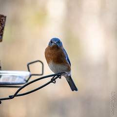 dec14 (4 of 6) (LM Carlson) Tags: unitedstatesofamerica northcarolina hillsborough bluebird