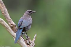 CA3I5945-Ashy Starling (tfells) Tags: ashystarling bird lamprotornisunicolor wildlife nature safari africa tanzania tarangirenationalpark